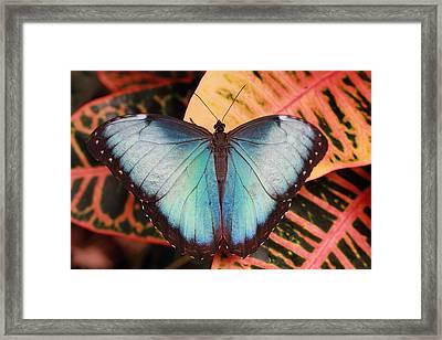 Framed Print featuring the photograph Blue Morpho On Orange Leaf by Angela Murdock