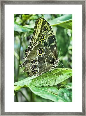 Blue Morpho Framed Print by Steven Parker
