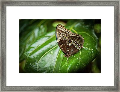 Blue Morphos Butterfly Framed Print by Chad Davis