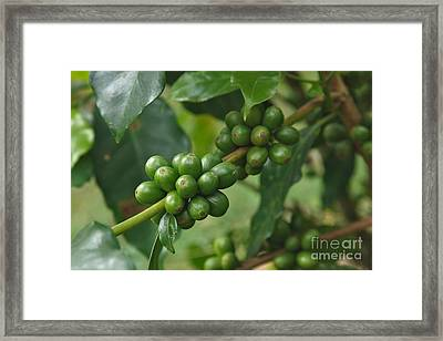 Blue Mountain Coffee Framed Print