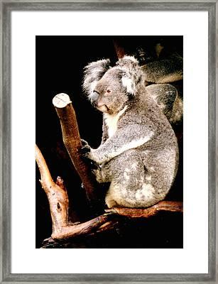 Blue Mountains Koala Framed Print