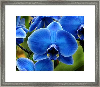 Blue Orchid Framed Print by Peg Urban