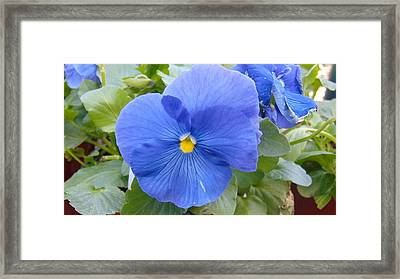 Blue Pansy Flower Framed Print