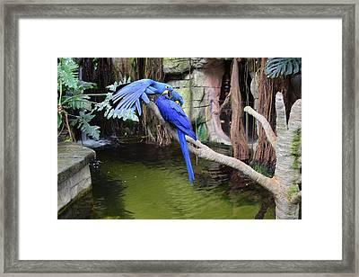Blue Parrots Framed Print by Bruce Miller