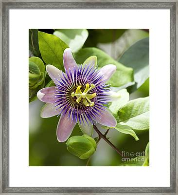 Blue Passion Flower #1 Framed Print