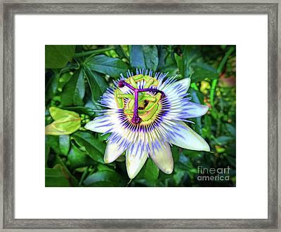 Blue Passion Flower Framed Print