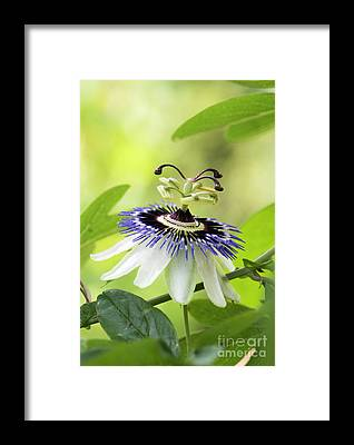Passionflower Framed Prints