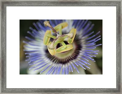 Blue Passionflower Framed Print