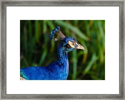 Blue Peacock Framed Print by Daniel Precht