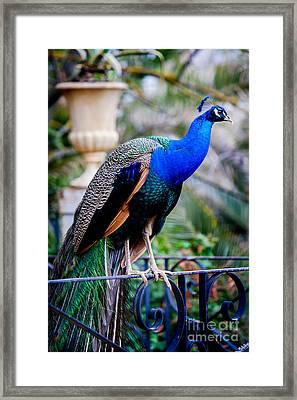 Blue Peafowl Framed Print by Juan Carlos Ballesteros