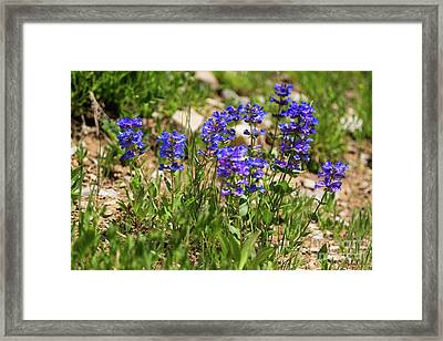 Blue Penstemon Wildflowers Framed Print