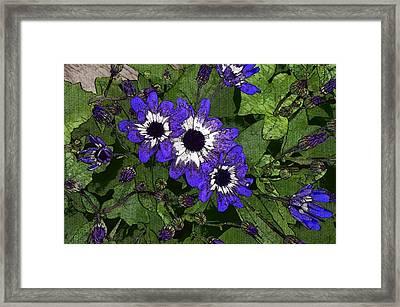 Blue Pericallis Senetti Framed Print by Mina Thompson