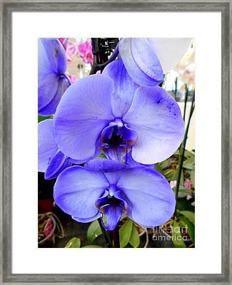 Blue Phalaenopsis Orchid Framed Print