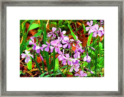 Blue Phlox Framed Print