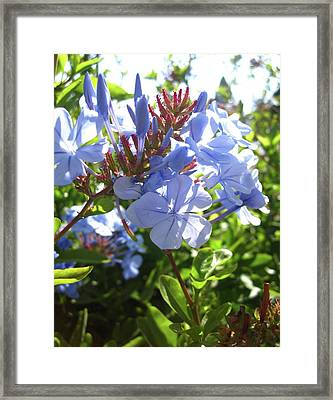 Framed Print featuring the photograph Blue Plumbago by Mary Ellen Frazee
