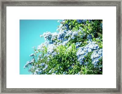 Blue Plumbago Maui Hawaii Framed Print by Sharon Mau