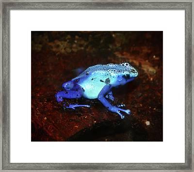 Blue Poison Dart Frog - Dendrobates Azureus Framed Print by Bill Cannon