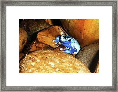 Framed Print featuring the photograph Blue Poison Dart Frog by Anthony Jones