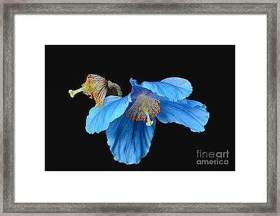 Blue Poppies Framed Print by Cindy Manero