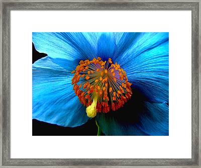Blue Poppy II - Closeup Framed Print by Robert Nankervis