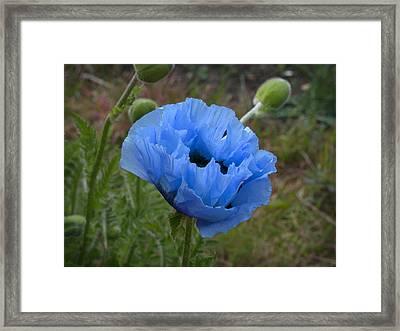 Framed Print featuring the digital art Blue Poppy by Paul Gulliver