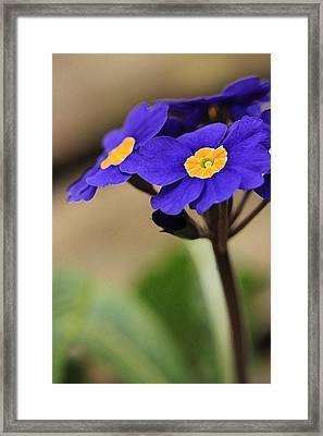 Blue Primrose Framed Print by Amy Neal