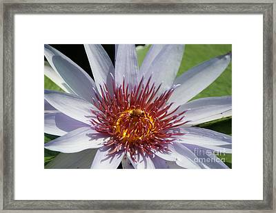 Blue Red Yellow Water Lily   # Framed Print