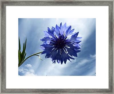 Blue Sky Blue Flower Framed Print by Tina M Wenger
