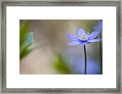 Blue Spring  Flower Magic Framed Print
