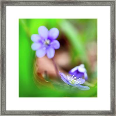 Blue Spring Wild Flower, Hepatica Nobilis Framed Print