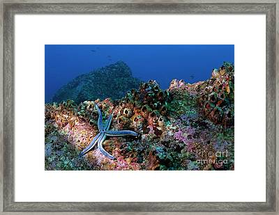 Blue Starfish On Rock Framed Print by Sami Sarkis