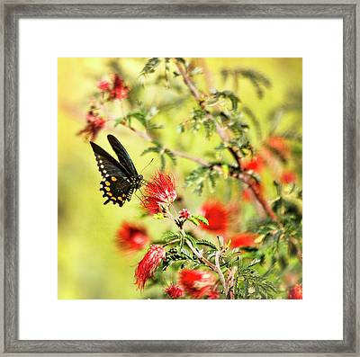 Blue Swallowtail On Fairy Duster  Framed Print