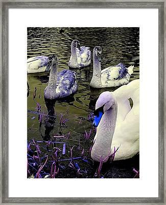 Blue Swan Framed Print