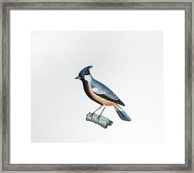Blue Tailed Bird Framed Print