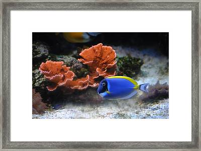 Blue Tang Fish And Coral Framed Print