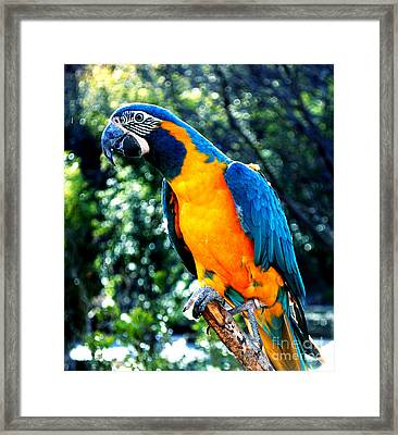 Blue Throated  Macaw 2 Framed Print