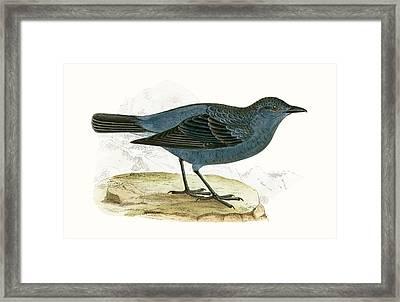 Blue Thrush Framed Print