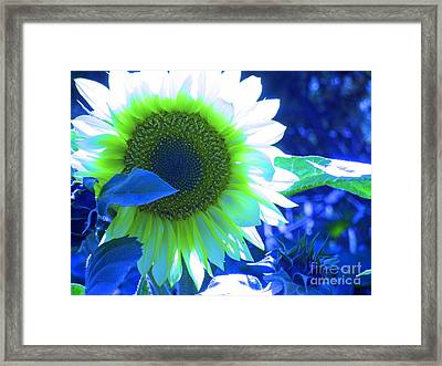 Blue Tinted Sunflower Framed Print by Sonya Chalmers