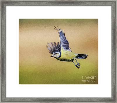 Blue Tit In Flight Framed Print