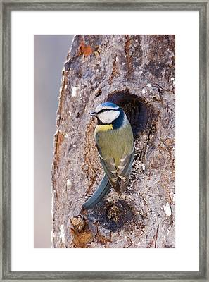 Blue Tit Leaving Nest Framed Print by Cliff Norton