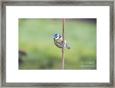 Blue Tit On A Garden Cane Framed Print