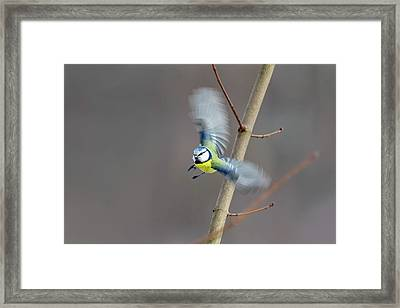 Blue Tit In Flight Framed Print