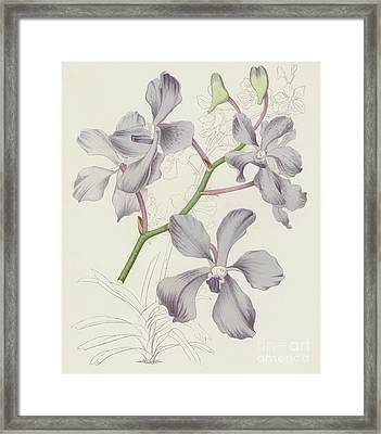 Blue Vanda, Vanda Coerulea Framed Print by English School