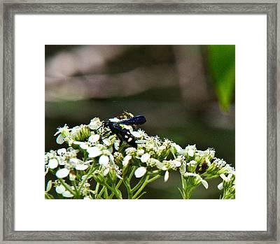 Blue Wasp 2 Framed Print by Douglas Barnett