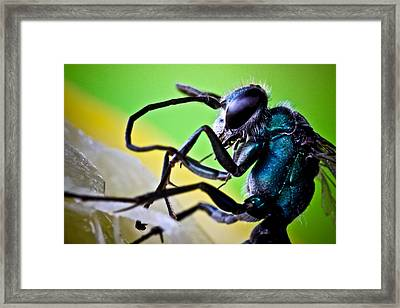Blue Wasp On Fruit Framed Print by Ryan Kelly