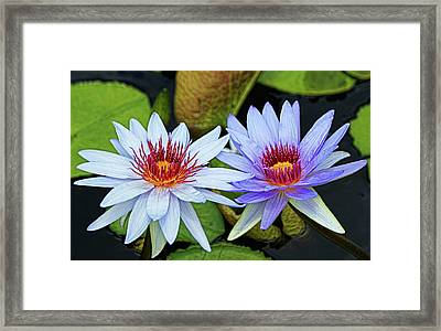 Framed Print featuring the photograph Blue Water Lilies by Judy Vincent