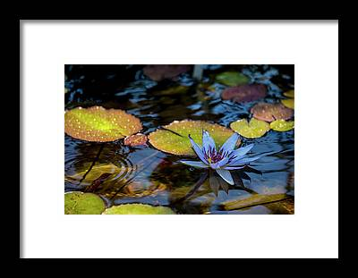 Lilly Pad Framed Prints