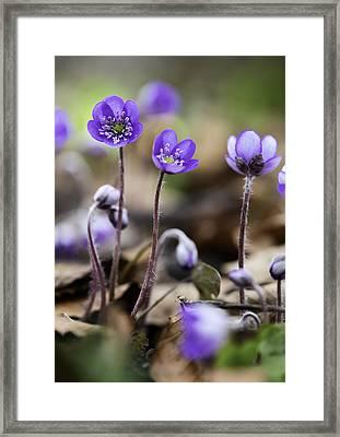 Blue Wild Spring Flowers Framed Print
