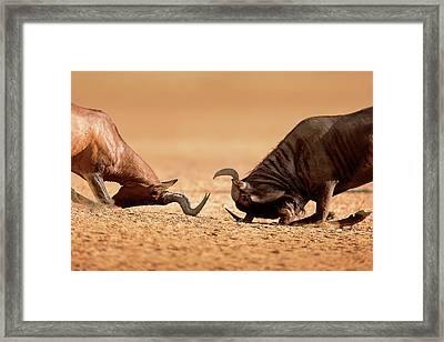 Blue Wildebeest Sparring With Red Hartebeest Framed Print
