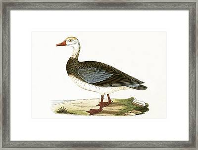 Blue Winged Goose Framed Print by English School